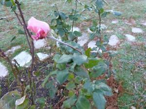 Quelques roses résistent vaillament...