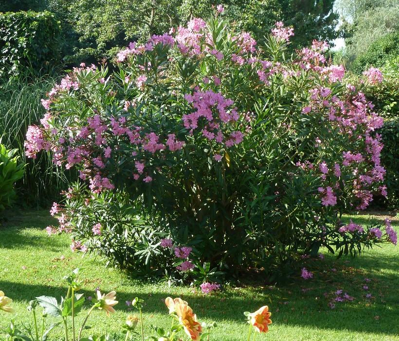 Un produit local les feuilles de laurier le blog de - Laurier rose toxique au toucher ...