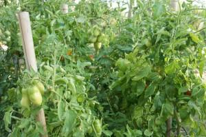 Plants de tomates,  début août 2012.