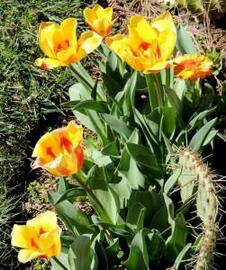 bulbe de tulipe