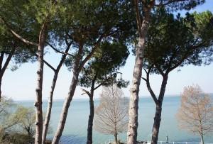 A l'avant-plan, nos hauts pins parasols, en arrière-plan deus de nos pins du Mississipi, encore dépouillés de leurs aiguilles. Nous sommes ici en mars 2012.