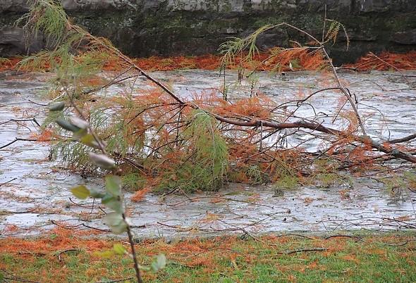 """Dans notre jardin à l'Isola Maggiore, branches arrachées et tapis d'aiguilles de pin après le passage du cyclone méditerranéen """"Vénus""""."""