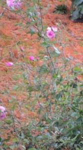 Quelques malheureuses roses noyées dans le feu des aiguilles de pin omniprésentes.