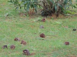 """Un véritable """"tapis de bombes"""" s'est abattu sur notre jardin sous forme des innombrables pommes de pin arrachées à nos arbres."""