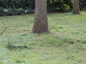 On voit très bien ici le soulèvement de la pelouse correspondant au déracinement partiel.