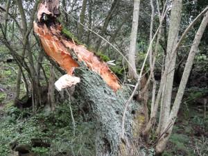 Une rupture nette et sans bavure là où la branche a été arrachée.
