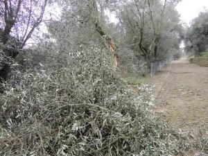 Une grosse branche d'olivier tombée au pied de la strada di San Michelle Arcangelo.