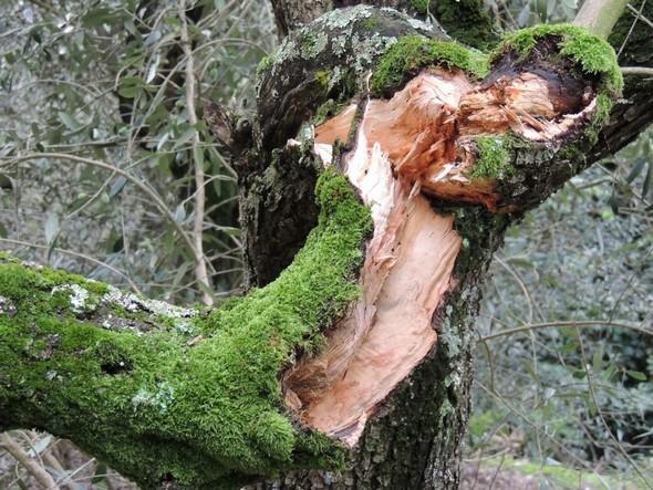 """La blessure profonde cet olivier de l' Isola Maggiore symbolise bien ce que le cyclone """"Vénus"""" A fait endurer à l'île..."""