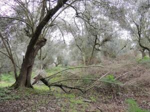 Dégât dans l'oliveraie qui borde la strada di San Michele Arcangelo.