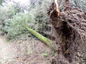 Déracinement brutal d'un arbre pourtant imposant.