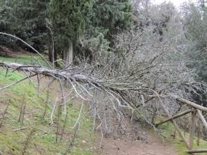 """Dans le haut de la """"Strada di San Francesco"""", un solide tronc d'arbre, emporté par la violence du vent, barre le passage."""