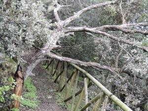"""Un arbre a également été abattu à l'entrée supérieure du """"sentiero dei Lecci""""."""