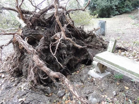 Arbre imposant déraciné après avoir endommagé un banc en pierre à L'Esplanade de San Francesco (Isola Maggiore, lac Trasimène).  -  12/11/2013.