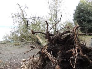 """Un arbre majestueux de l' """"Approdo """"  de San Francesco déraciné sous la violence du vent."""