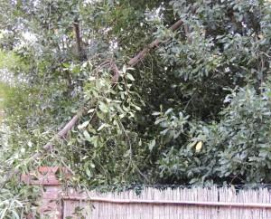 Brisure et cabriole d'un arbre maigrichon chez Edoardo Silvi.