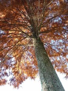 Un de nos pins du Mississipi à l'automne, revêtu de sa cape automnale couleur rouille.