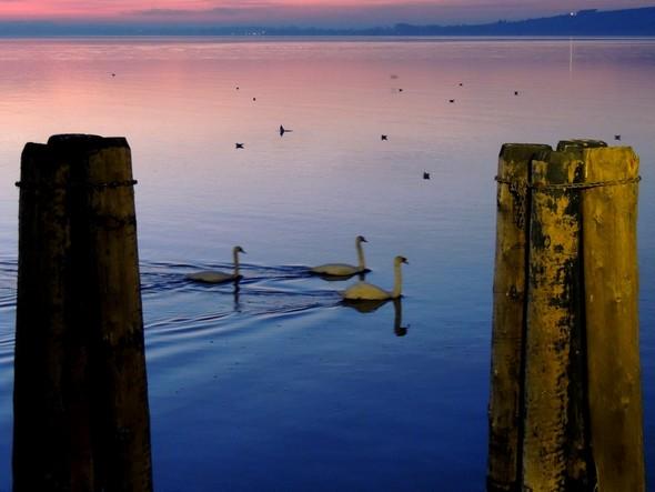 Les cygnes passent de l'autre côté du pontile de l'Isola Maggiore - 18/12/2013,   18:20