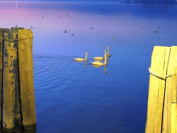 Les cygnes passent à côté du phare situé à l'extrémité du pontile.