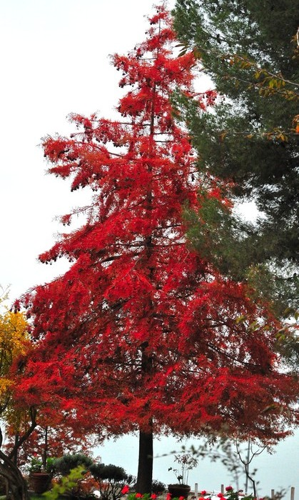 Le pin du Mississipi de'Umberto Chiappafreddo à la mi-novembre...! - - © Umberto Chiappafreddo.