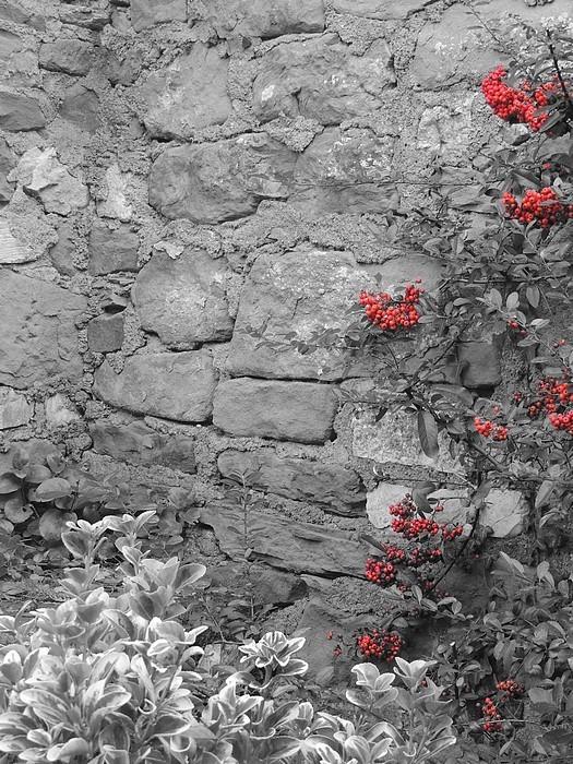 Entré chez nous, le long du mur, une belle couleur rouge illumine malgré tout ce mur hivernal orphelin des belles fleurs qui le couvrent en d'autres saisons.