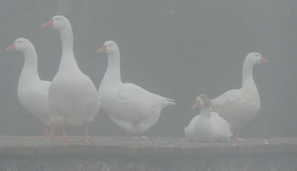 La troupe des oies de l'Isola s'est prudemment réfugiée sur la digue d'une des tarses.