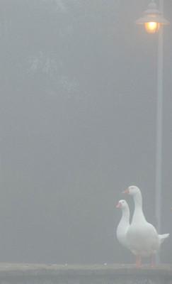 Sur la digue d'une des deux darsenas de l'Isola Maggiore, deux oies perplexes face à un tel brouillard...