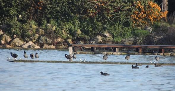 """Le débarcadère de """"L'Oso"""" est colonisé par des oiseaux orphelins des rives submergées  -  Au fond, à droite, la terrasse en bois du bar des Silvi s'avance dans le Trasimène."""