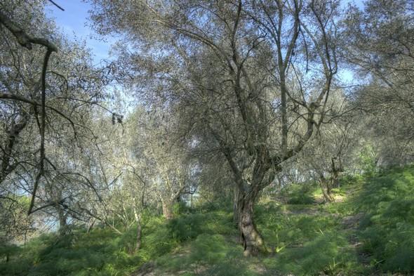 Commençons par l'oliveraie, abandonnée à elle-même, caractérisée par de nombreux enchevêtrements végétaux et animée de jeux de lumière.