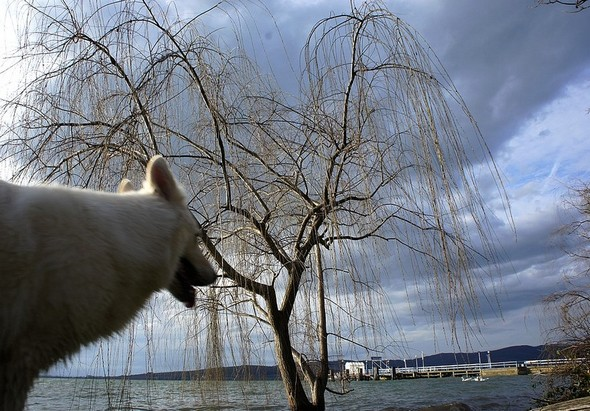 Même Aïka, notre berger suisse blanc, admire le paysage, étonnée peut-être de voir un arbre pousser dans les eaux du lac.