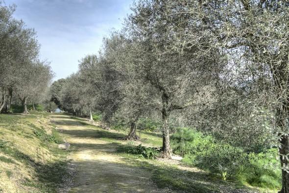 La strada panoramica del Mulino court le long de la crête de l'Isola Maggiore, entourée de part et d'autre d'oliviers mieux entretenus cette fois.