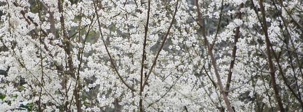 Fleurs démentant le pessimisme de mon article d'hier quant à l'arrivée prochaine du printemps...