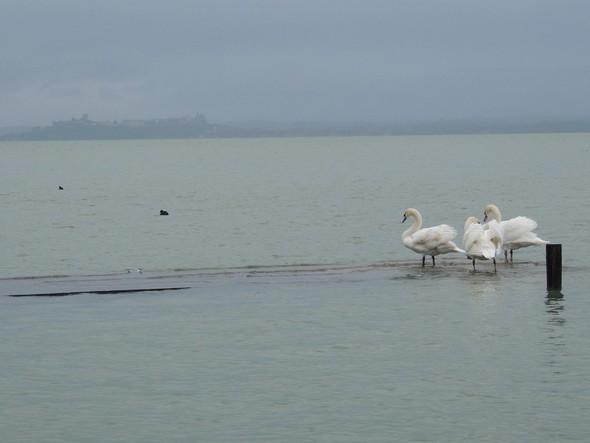 """Les cygnes sur le débarcadère immergé du restaurant """"L'Oso"""", le Trasimène et, au fond à gauche, Castiglione del Lago."""