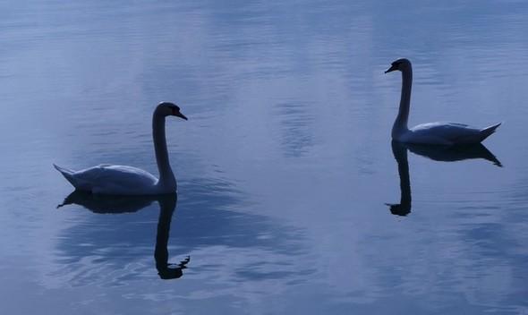 """Cette fois, c'est un couple de cygnes """"bicéphales""""..."""