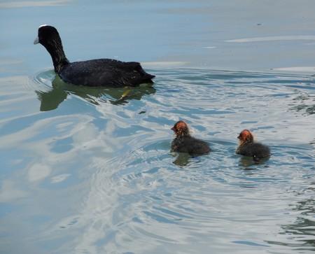La poule d'eau quitte le nid avec des deux petits pour aller pêcher sur le Trasimène - La gallinella d'acqua lascia il nido con due giovani per andare a pesca sul Trasimeno