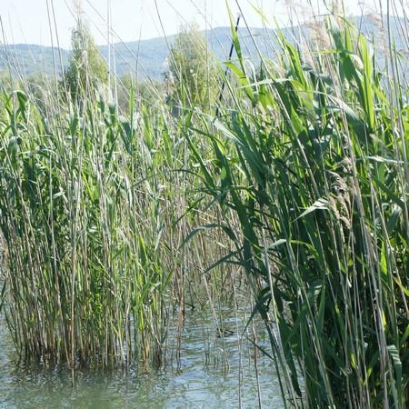 Réduction des cannaies le long des rives du lac Trasimène.