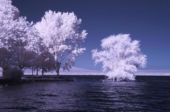 A la pointe nord de l'Isola Maggiore, un arbre spectaculairement les pieds dans l'eau depuis que les eaux du Trasimène ont atteint un record - 14/07/2014.