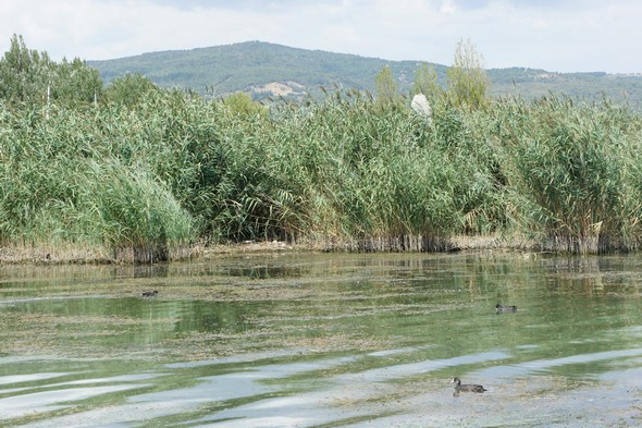 Les canards évoluent entre les agglomérats d'algues le long de la rive au niveau de  Tuoro-Navaccia.