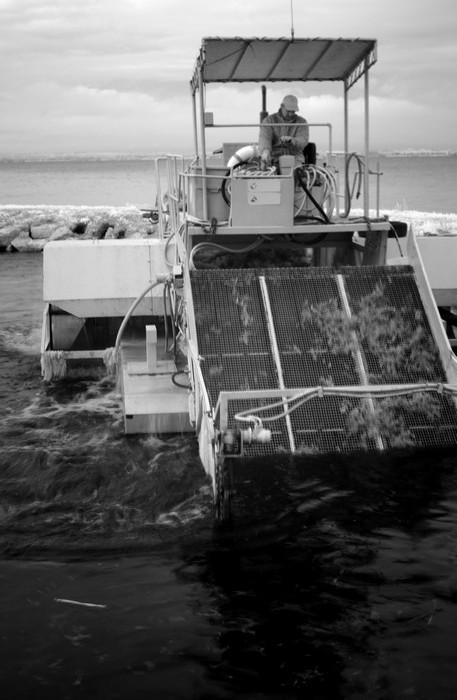 Le tapis roulant de la drague remonte les algues arrachées.