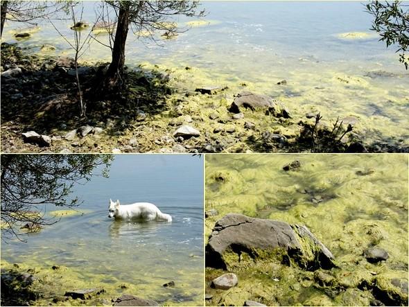 Ce que je ne fais plus désormais : laisser mon chien aller boire l'eau du lac dans ces conditions !