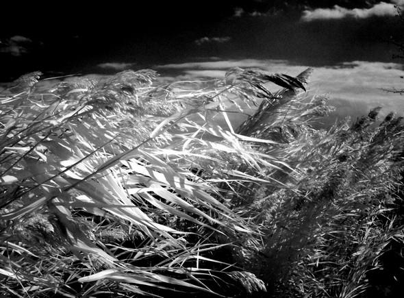 Azione del vento sulle canne della riva nord del Porto del Sole  I.