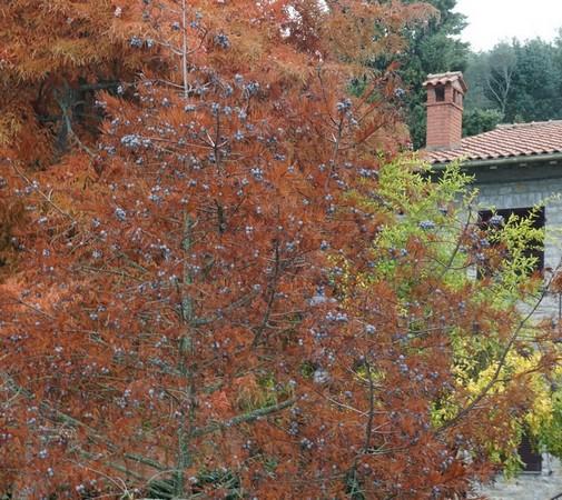 A l'Isola Maggiore, les belles couleurs automnales du jardin de notre voisin Umberto