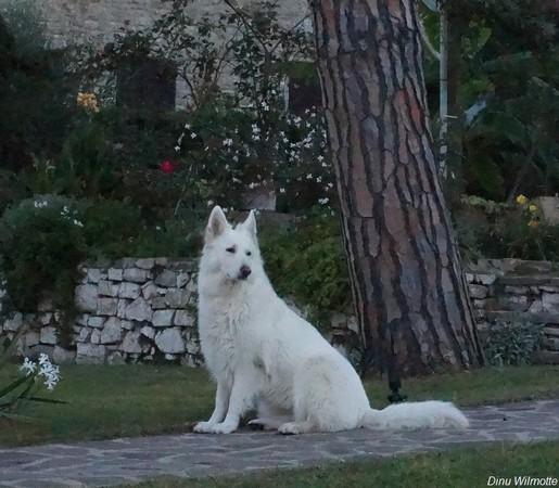 """Aïka, notre Berger suisse blanc, pose avec son """"professionnalisme"""" habituel dans notre jardin..."""