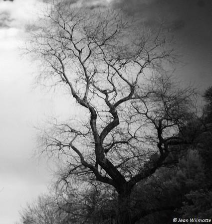Presque à l'entrée du sentier, la silhouette torturée d'un arbre qui semble monter la garde...
