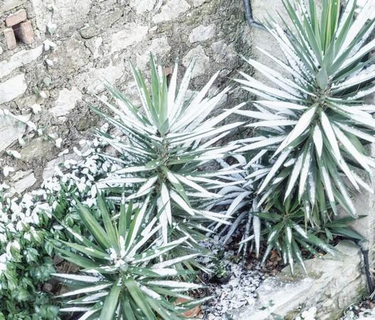 Les petits palmiers de la cour arrière ont également recueilli in peu de neige ce qui n'est pas sans charme.
