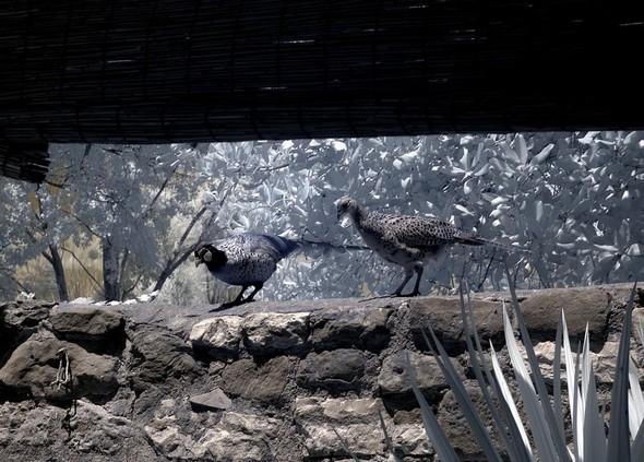 Sur un mur, face au tables de la terrasse du jardin, on jouit d'un ballet quasi incessant de faisans.