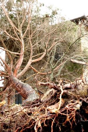 Un arbre d'une taille respectable a été déraciné et sa cime est venue se poser sur le toit.