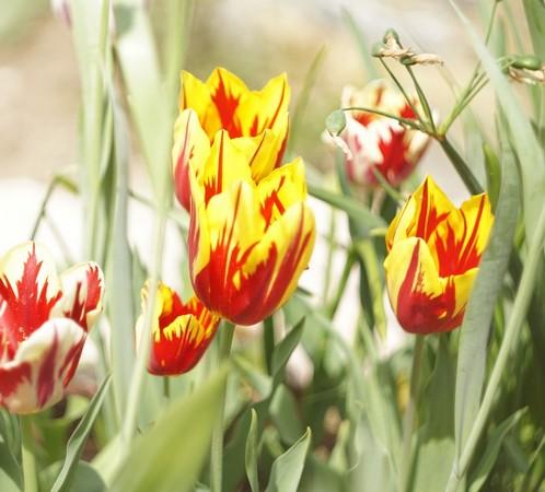 La floraison des tulipes empanache de nouveau notre jardin de belles couleurs vives et joyeuses.