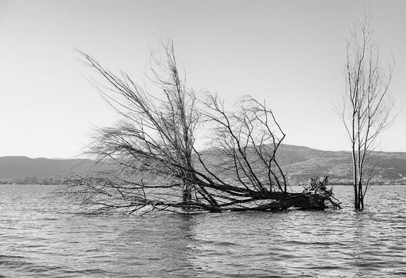 L'arbre emblématique à l'extrémité de la pointe nord de l'Isola Maggiore a été terrassé par la dernière tempête. © Dinu Wilmotte.