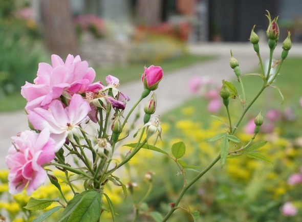 Branche de rosier du parterre qui longe de part et d'autre l'allée menant au lac Trasimène, en bout de notre jardin. © Dinu Wilmotte