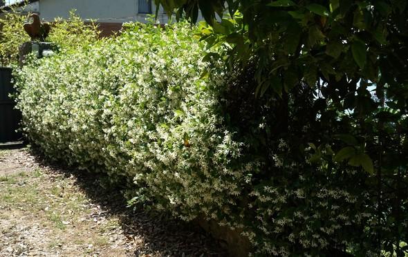 Notre voisin a planté une haie très généreuse de jasmin le long du chemin d'accès à notre portail.